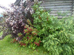 Lapuočiai krūmai Augalai