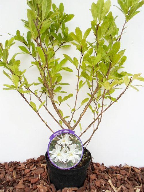 Žvaigždinė magnolija krūmas sodinukas vazone aukštis 70 cm