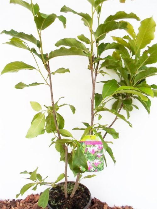 Žvaigždinė magnolija Royal Star sodinukas vazone aukštis 80 cm