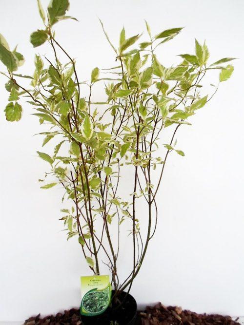 Baltoji sedula Elegantissima. Sodinukas vazone aukštis 80 cm