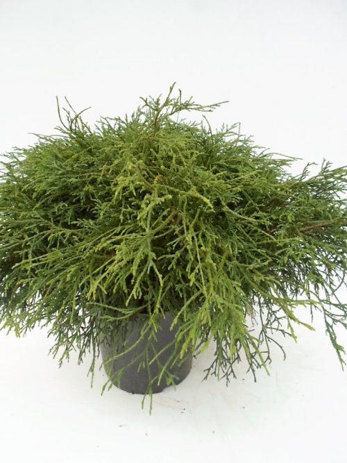 Chamaecyparis Filifera Nana 1