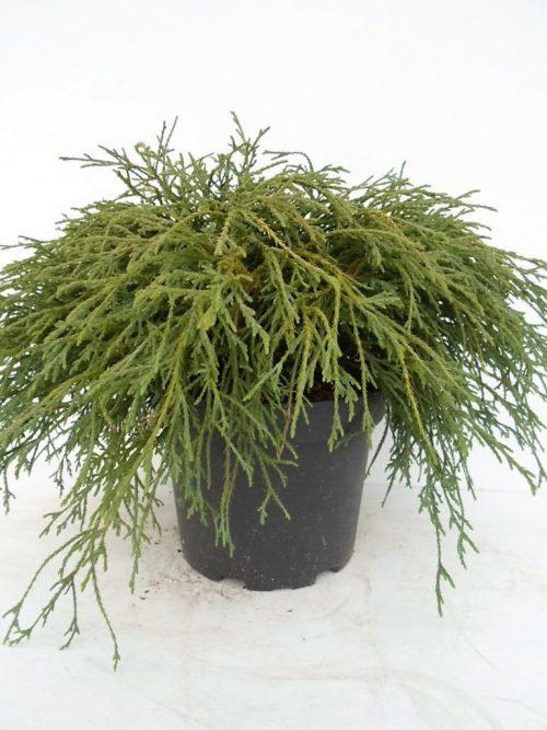 Chamaecyparis Filifera Nana 2