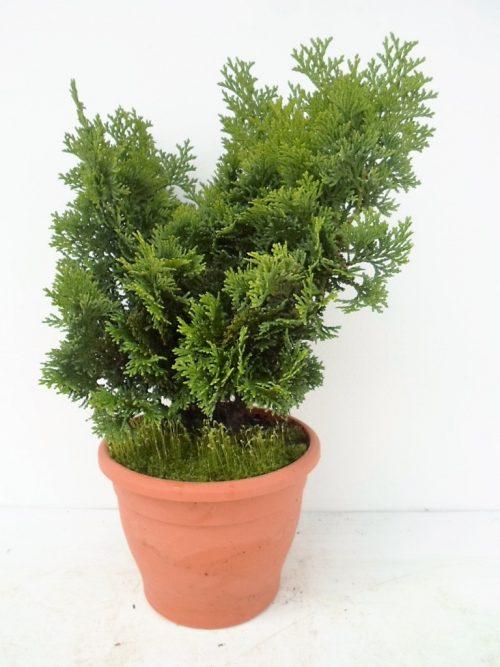 Chamaecyparis obt Nana Gracilis 1