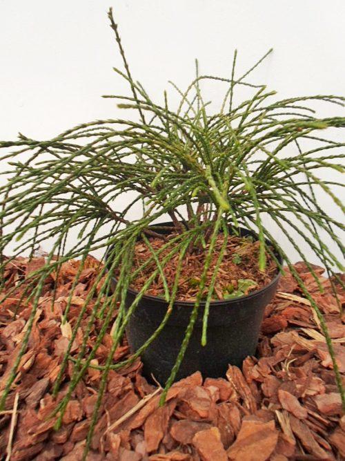 Didžioji tuja Whipcord (Thuja plicata) - Aukštis 20 cm