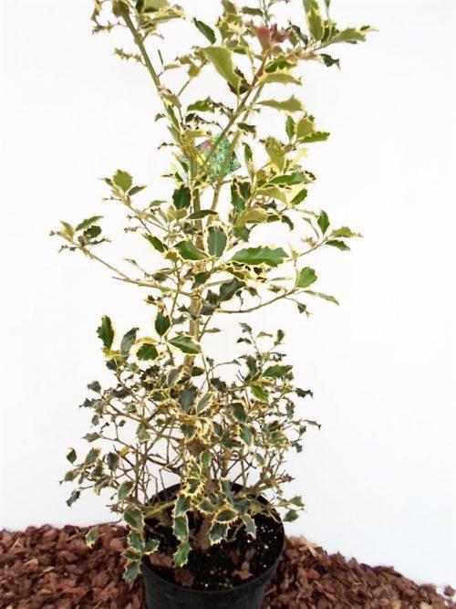 Sodinukas Dygialapis bugienis Argentea Marginata. Aukštis 90 cm