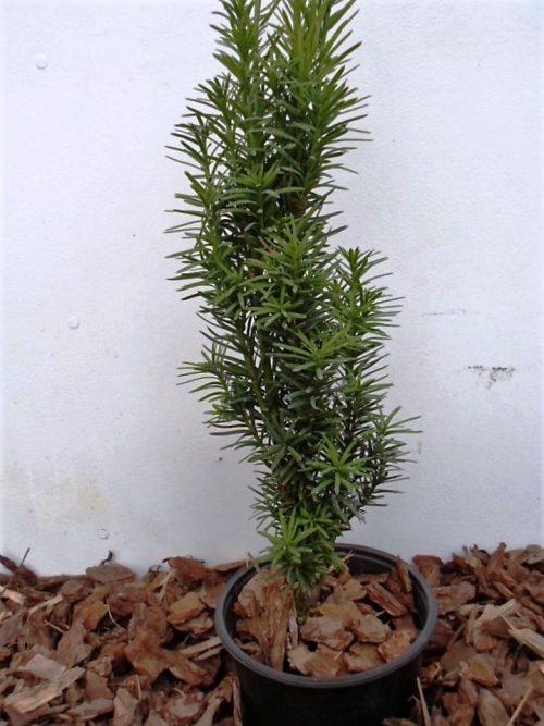Europinis kukmedis Fastigiata Robusta (Taxus baccata) 50 cm
