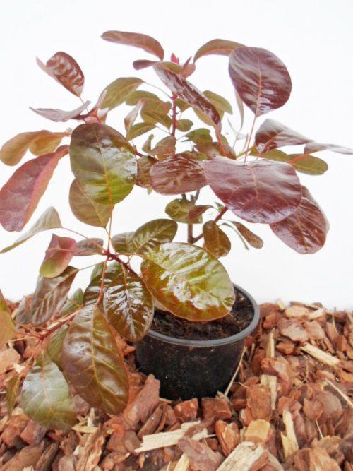 Europinis pūkenis Royal Purple sodinukas vazone aukštis 30 cm