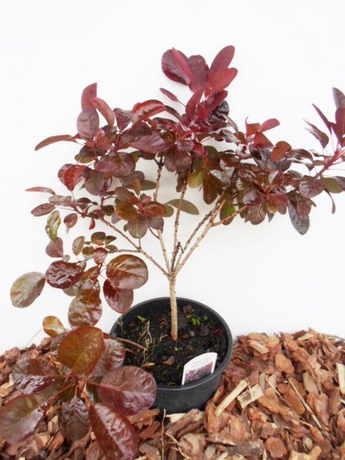 Europinis pūkenis Royal Purple sodinukas vazone aukštis 35 cm