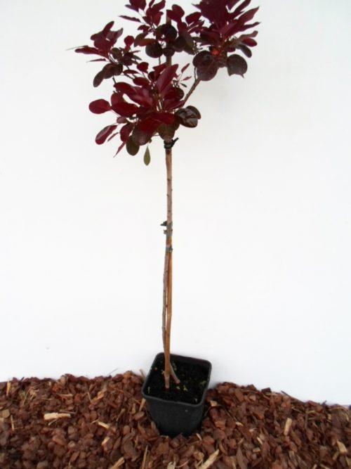 Europinis pūkenis Royal Purple sodinukas vazone aukštis 80 cm