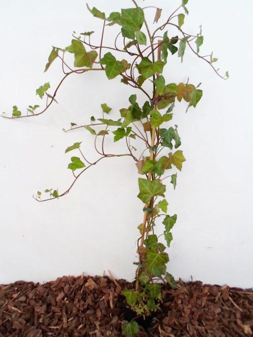 Sodinukas Gebenė lipikė aukštis 100 cm