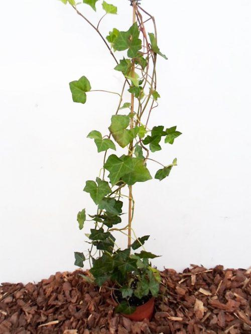 Sodinukas Gebenė lipikė. Aukštis 80 cm