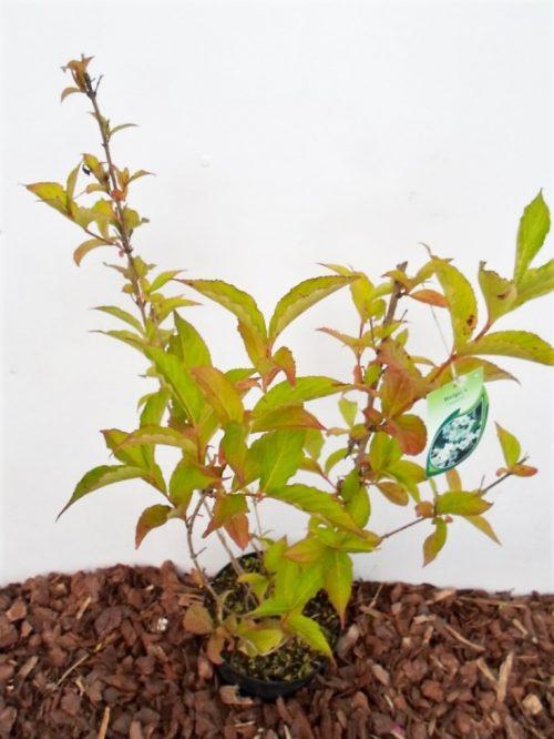 Gražiažiedė veigelė Candida. Sodinukas vazone aukštis 60 cm
