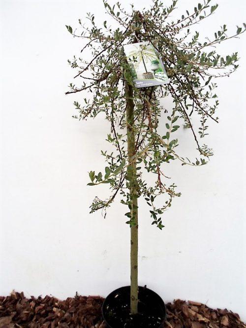 Gulsčiojo karklo Voorthuizen sodinukas vazone aukštis 80 cm