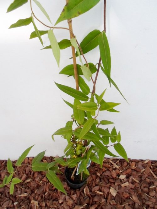 sodinukas Henrio sausmedis 100 cm aukščio