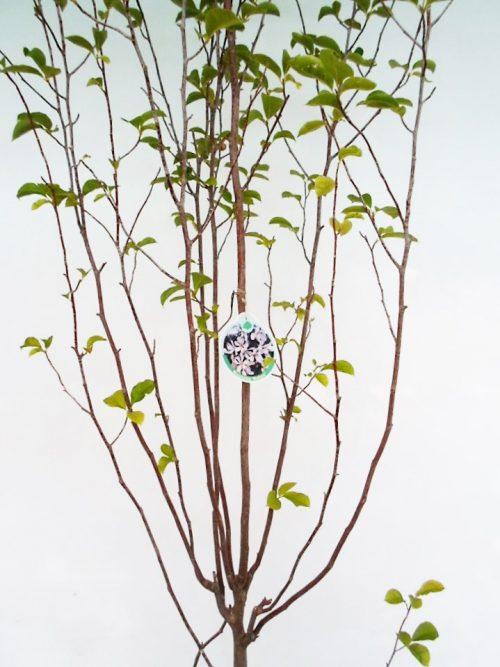 Japoninės magnolijos kobus sodinukas vazone aukštis 220 cm