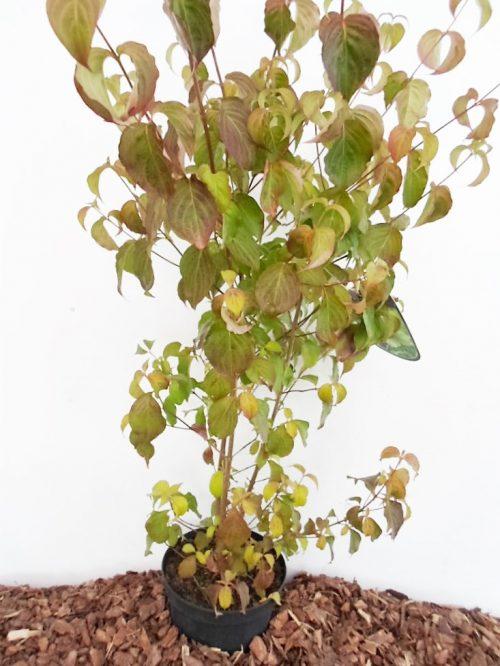 Japoninė sedula. sodinukas vazone, aukštis 110 cm