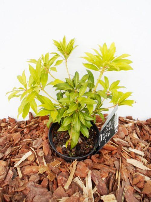 Japoninis bereinutis Pieris Forest Flame sodinukas vazone aukštis 25 cm