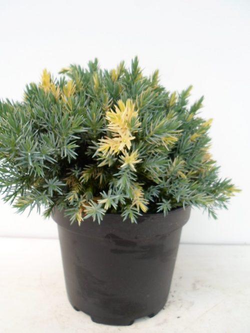 Juniperus Floreant