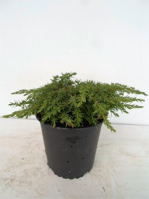 Sodinukas paprastasis kadagys Green Carpet aukštis 5 cm