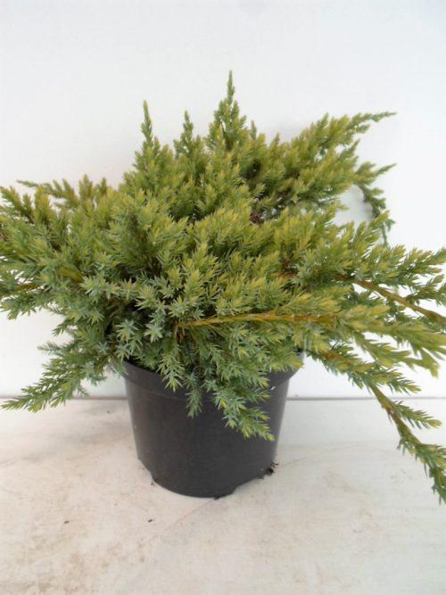 Juniperus Holger