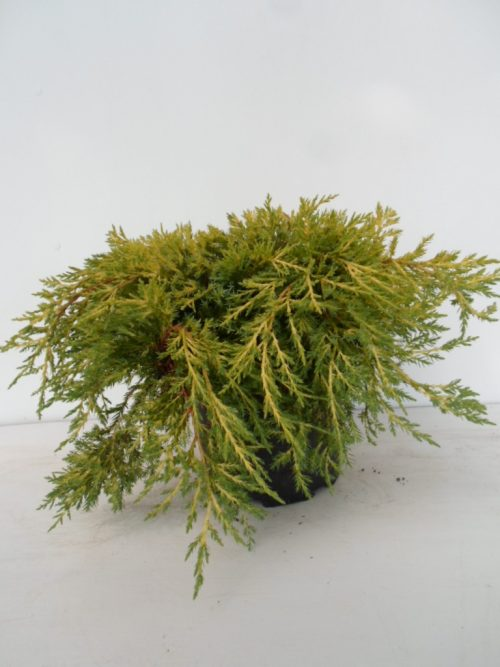 Juniperus King of Spring