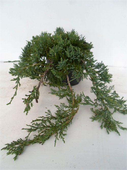 Juniperus Wiltoni