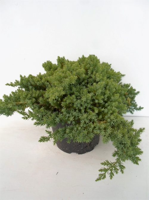 Juniperus proc Nana