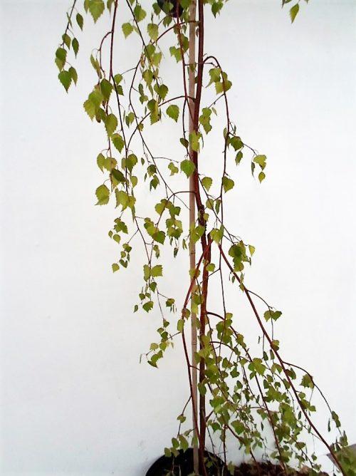 Karpotasis beržas Youngii (Betula pendula)