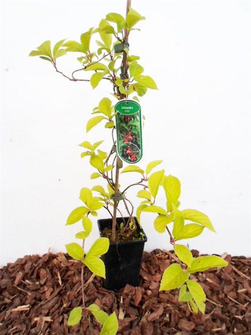 Sodinukas Kininis citrinvytis aukštis 50 cm