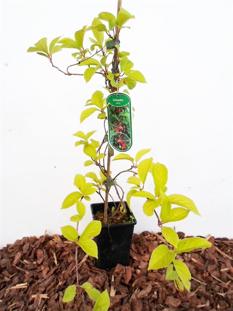 Kininis citrinvytis (Schisandra chinensis) – Aukštis 50 cm ...