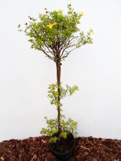 Krūminė sidabražolė Goldfinger sodinukas vazone aukštis 80 cm