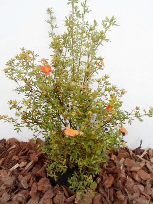 Krūminė sidabražolė Orange sodinukas vazone aukštis 30 cm