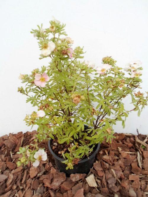Krūminė sidabražolė Pink Queen sodinukas vazone aukštis 30 cm