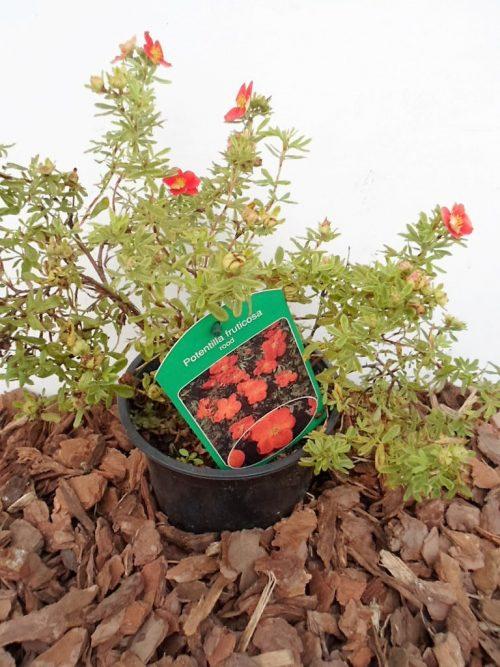 Krūminė sidabražolė Red Ace sodinukas vazone aukštis 30 cm
