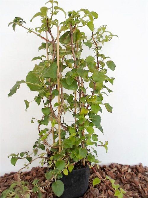 sodinukas Laipiojanti hortenzija aukštis 60 cm