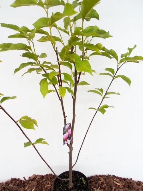 Magnolijos Heaven Scent sodinukas vazone aukštis 130 cm