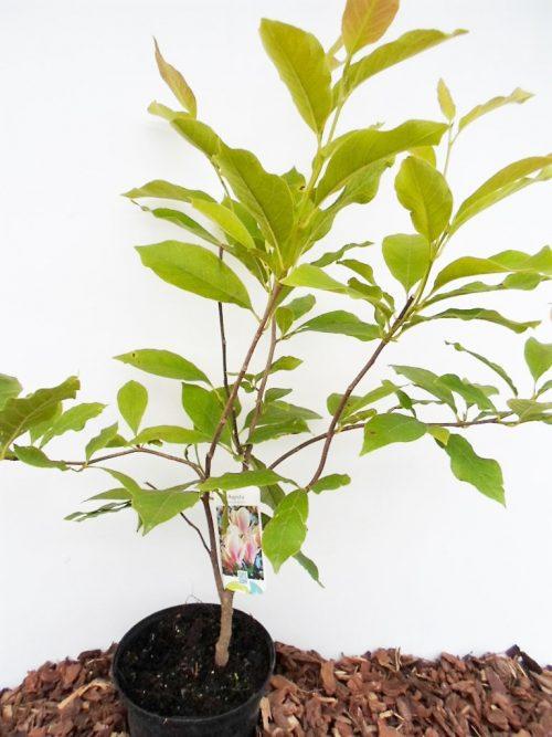 Magnolijos Susan krūmo sodinukas vazone aukštis 60 cm