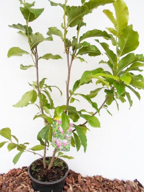 Magnolijos Susan krūmo sodinukas vazone aukštis 80 cm