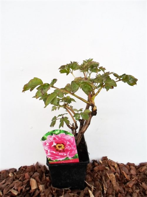 Medėjantis bijūnas nr.2. sodinukas vazone aukštis 20 cm