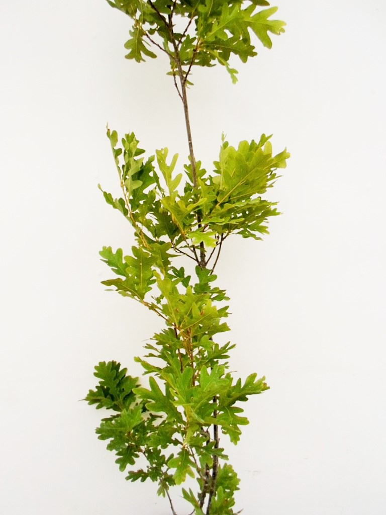 Paprastojo ąžuolo Fastigiata sodinukas 110 cm