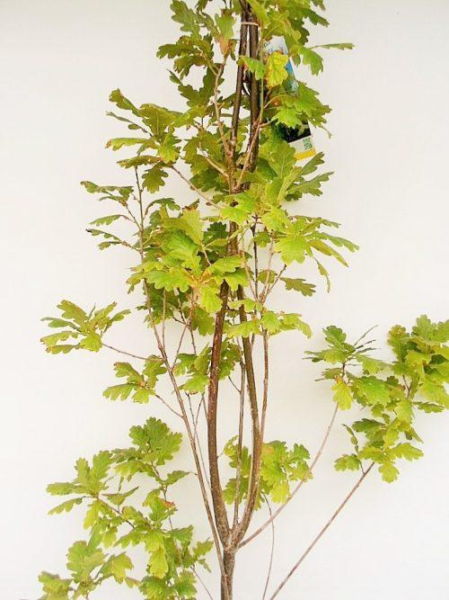 Paprastojo ąžuolo Fastigiata sodinukas vazone