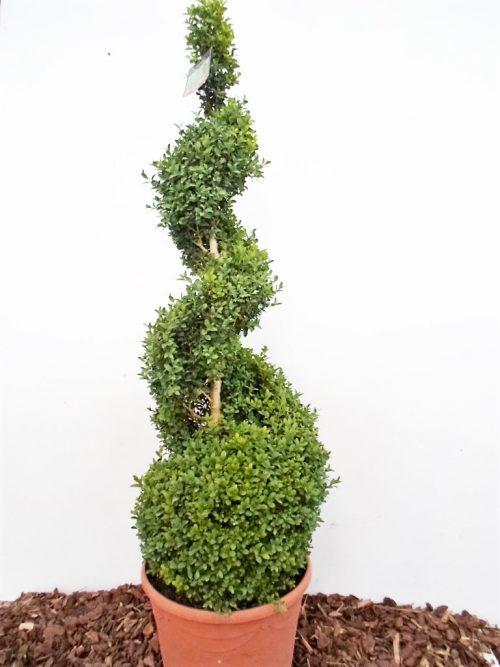 Sodinukas Paprastasis buksmedis spirale. Aukštis 115 cm