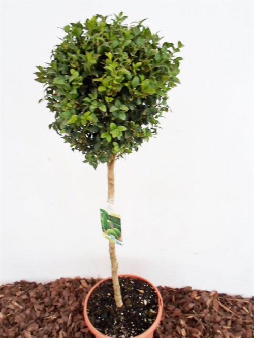 Sodinukas Paprastasis buksmedis stamb. ukštis 80 cm