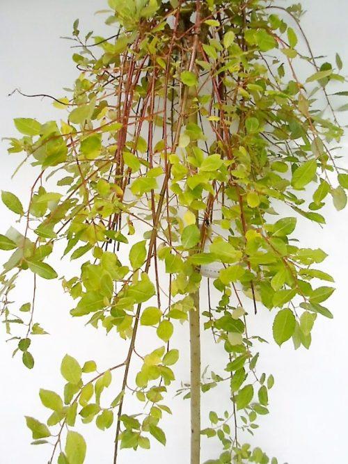 Paprastosios blindės Kilmarnock sodinukas vazone aukštis 160 cm