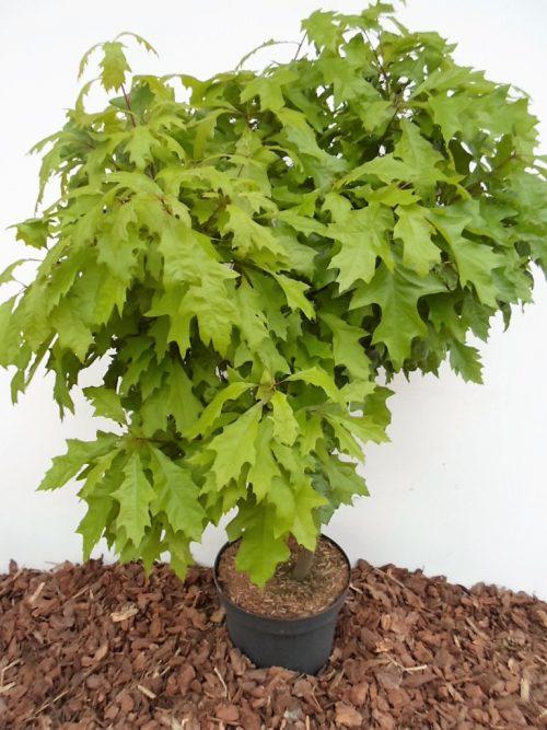 Pelkinio ąžuolo Green Dwarf sodinukas
