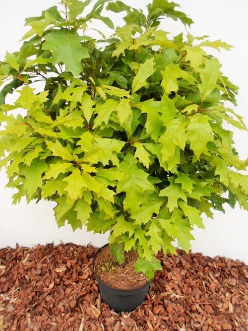 Pelkinis ąžuolas Isabel (Quercus palustris)