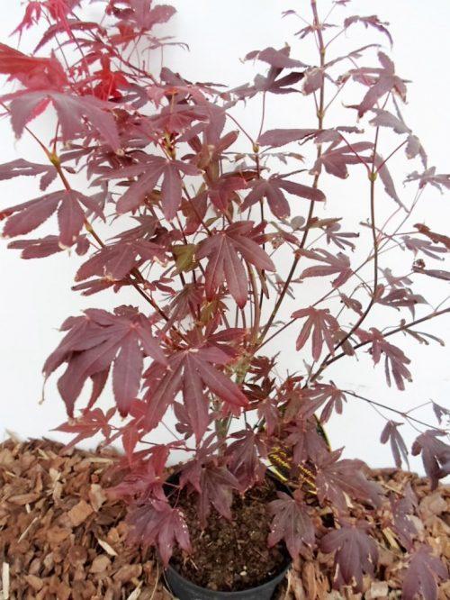 Plaštakinio klevo Atropurpurea sodinukas vazone 70 cm aukščio