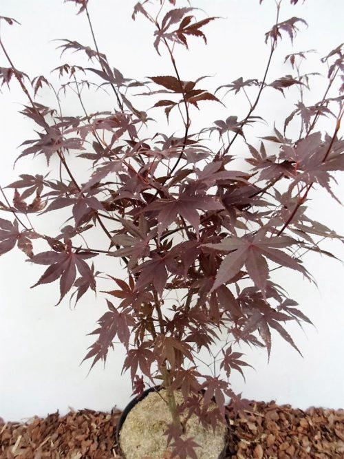 Plaštakinio klevo Bloodgood sodinukas vazone aukštis 100 cm