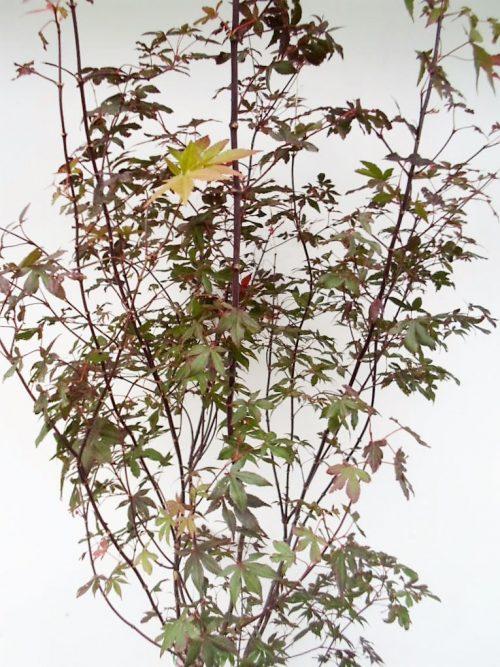 Plaštakinio klevo Fireglow sodinukas aukštis 140 cm