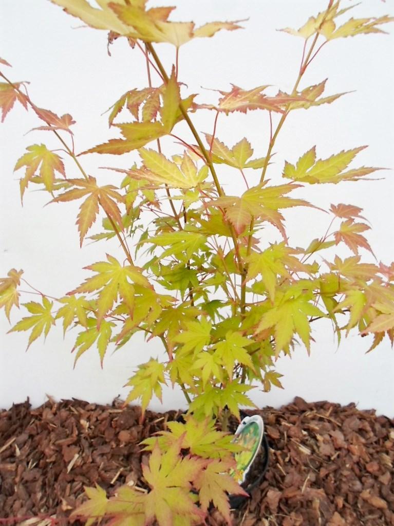 Plaštakinio klevo Orange Dream sodinukas vazone aukštis 90 cm